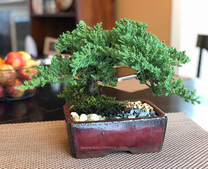 Juniper Bonsai on Kitchen Table