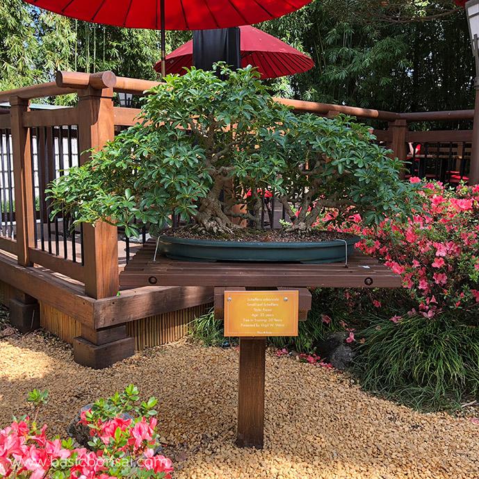 Dwarf Umbrella Tree Bonsai