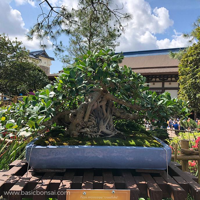 Green Mound Ficus Bonsai