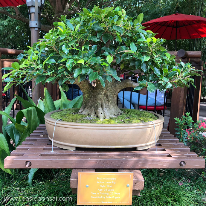 Indian Laurel Fig Bonsai