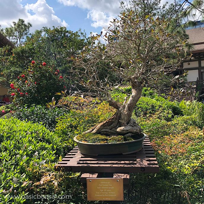 Pink Trumpet Tree Bonsai