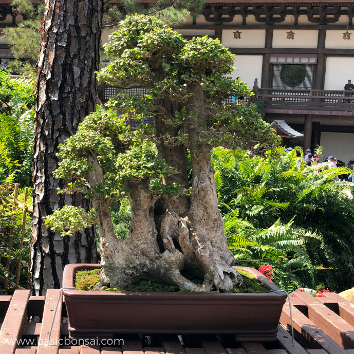 Tropical Boxwood Bonsai