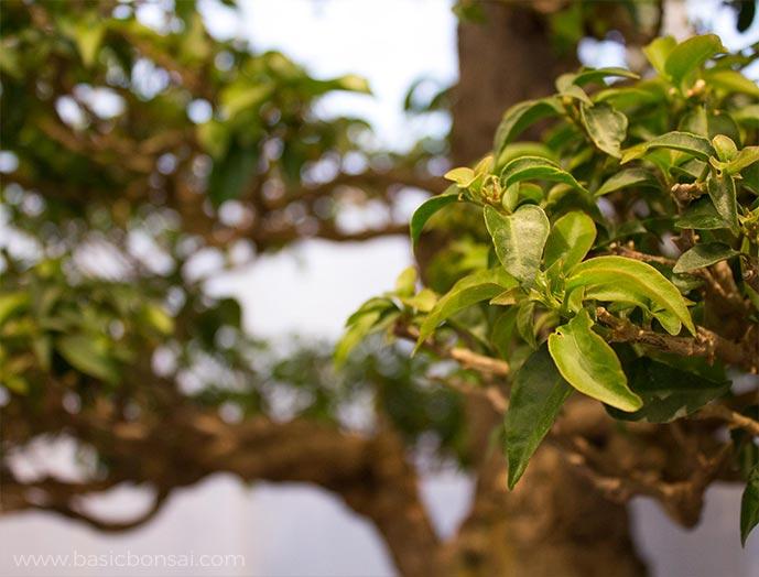 Deciduous Bonsai Foliage