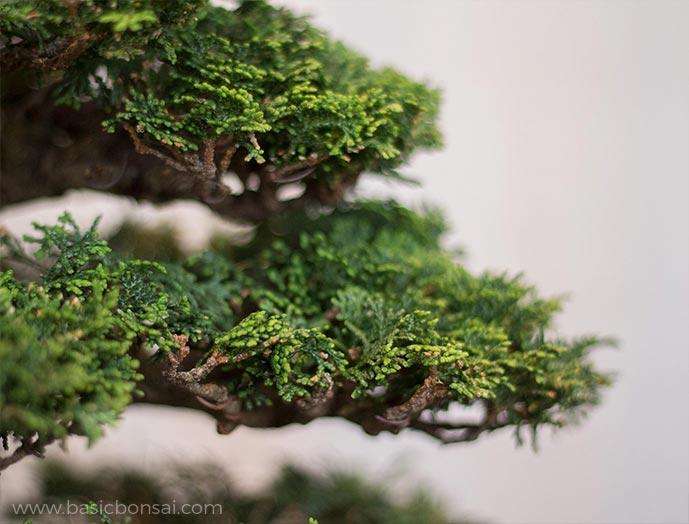 Hinoki Cypress Bonsai Foliage
