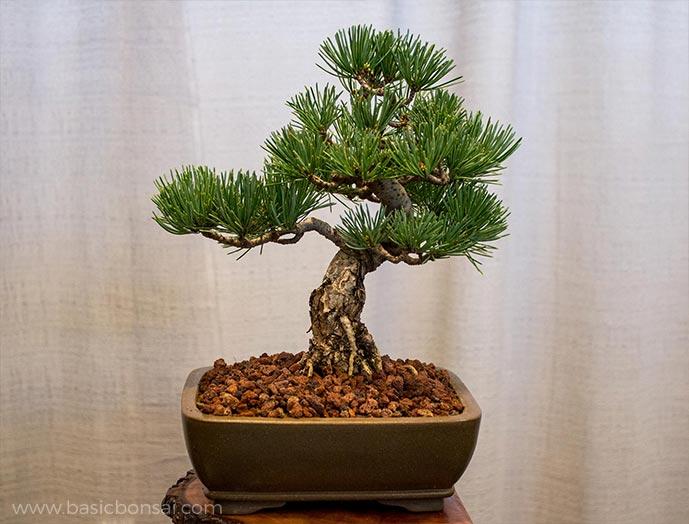 Japanese Pine Bonsai