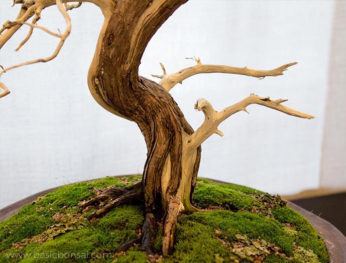 Juniper Bonsai Shari