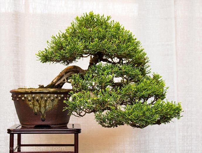 Juniper Bonsai Semi-Cascade