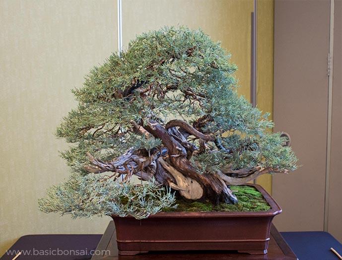 Large Juniper Bonsai