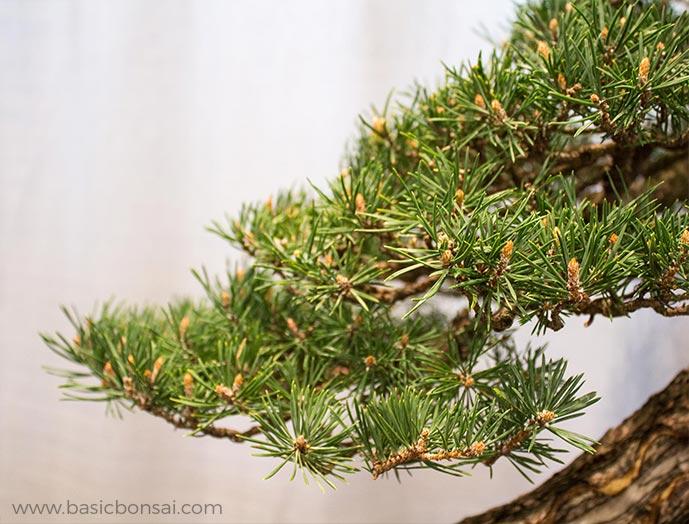 Pine Bonsai Branch
