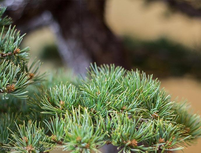 Pine Bonsai Foliage