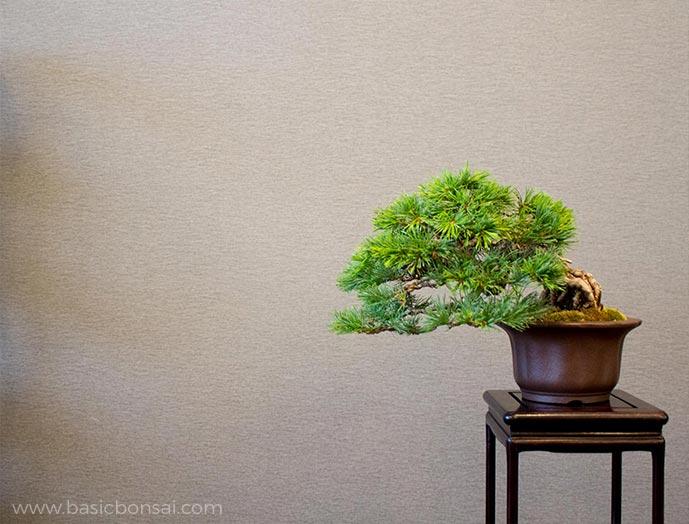 Pine Bonsai on Stand
