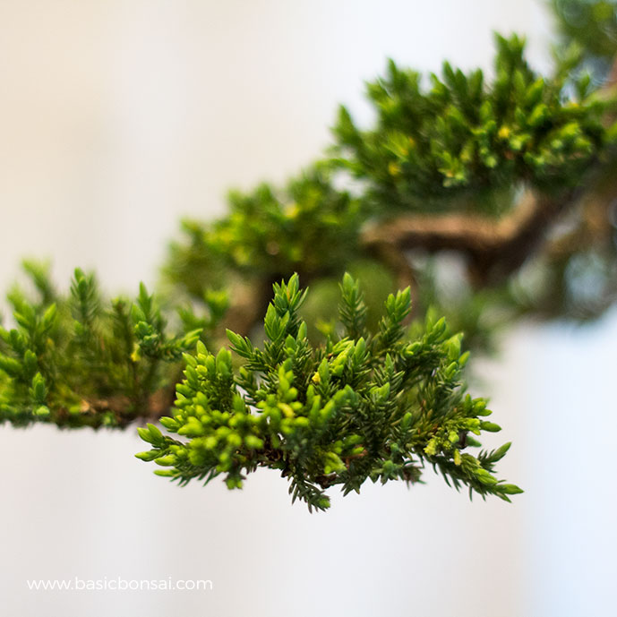 Juniper Growing Tips