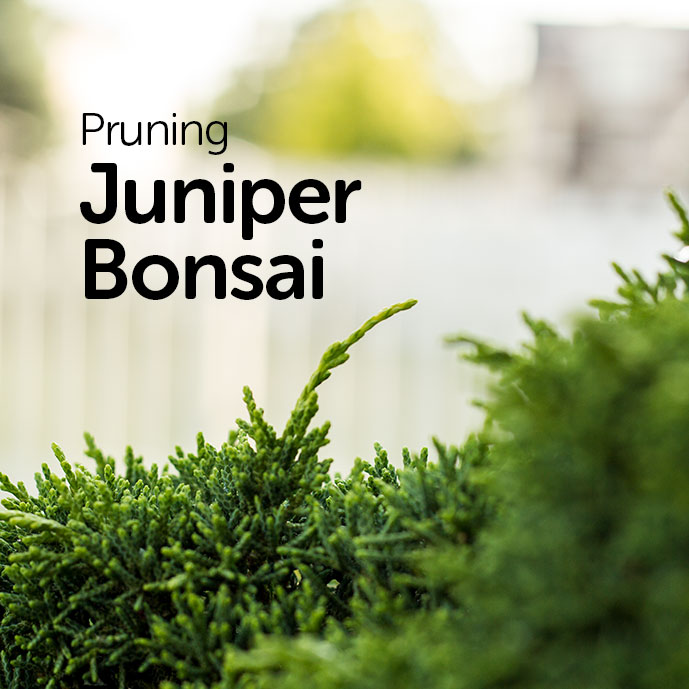 Prune Juniper Bonsai